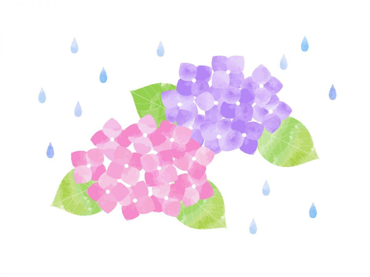 紫陽花梅雨